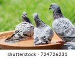 Homing Pigeon Bathing In Water...
