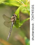 Small photo of American Emerald dragonfly Cordulia shurtleffii at Watson Lake, Yukon, Canada