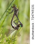 Small photo of pair of American Emerald dragonflies Cordulia shurtleffii copulating at Watson Lake, Yukon, Canada