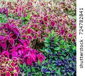 Small photo of Coleus colorful leaves, autumn background