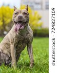 Small photo of Brown American Pit Bull Terrier on the grass