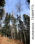 Small photo of Forest of silver fir tree in Pyrenees, Aude in south of France, Abies alba