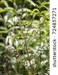 Small photo of Aloysia triphylla - Citroenverbena