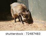 bat eared fox   otocyon... | Shutterstock . vector #72487483