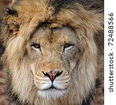 African Lion  Panthera Leo ...
