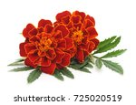 bouquet of marigolds isolated... | Shutterstock . vector #725020519