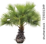 young betel palm on isolate...   Shutterstock . vector #725031349
