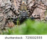 Small photo of Amazing spider Amblypygi. Macro photography, wildlife. A lot of details