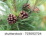 Spruce Cones Spruce