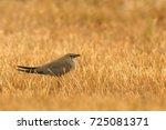 collared pratincole  glareola... | Shutterstock . vector #725081371