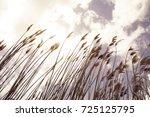 reeds  sky  cloud and sunlight. ... | Shutterstock . vector #725125795