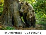 bears from zarnesti city ...   Shutterstock . vector #725145241
