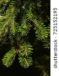 Small photo of Tips of branches of coniferous tree Veitch's silver fir Abies Veitchii during autumn season on dark background