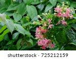 quisqualis indica  or ... | Shutterstock . vector #725212159
