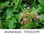 quisqualis indica  or ... | Shutterstock . vector #725212195
