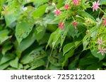 quisqualis indica  or ... | Shutterstock . vector #725212201