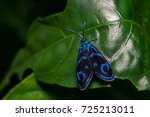 Small photo of Forester moth, Clelea Saphirina, on green leaf