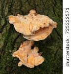 Small photo of Laetiporus sulphureus is a species of bracket fungus found in Europe and North America. Its common names are crab-of-the-woods, sulphur polypore, sulphur shelf, and chicken-of-the-woods.