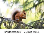 Red Squirrel Eating Walnut On A ...