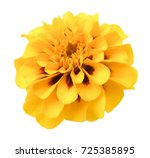 Stock photo marigold flower isolated lies on white digital painting 725385895