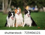 three border collie dogs posing ... | Shutterstock . vector #725406121