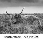 Shaggy Highland Cattle On...