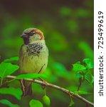 the house sparrow  passer... | Shutterstock . vector #725499619