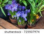Spring Crocus Flowers In A Cla...