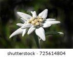 alpine edelweiss  leontopodium... | Shutterstock . vector #725614804