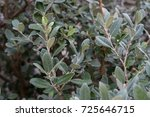 Small photo of leaves from feijoa sellowiana myrtaceae syn acca selloviana plant from brazil