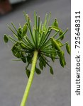 Small photo of leaves of agapanthus praecox love flower from south africa close up back view