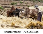 Small photo of A man threshing the grain with three oxen - Amhara - Ethiopia