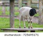 somali black headed sheep... | Shutterstock . vector #725695171