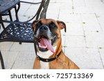 Boxer Dog Sticks Out Tongue An...