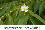 a single white flowers on green ...   Shutterstock . vector #725738851