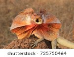 Frilled Lizard (Chlamydosaurus kingii) on termite mound