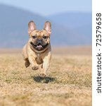 Stock photo young french bulldog puppy months in the field in march 72579658
