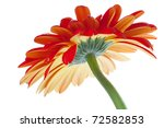 Red gerbera flower. Bottom view. Isolated on white - stock photo