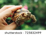 baby tortoise on the hands of... | Shutterstock . vector #725832499