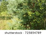 beauty pine tree. into the... | Shutterstock . vector #725854789