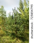 beauty pine tree. into the... | Shutterstock . vector #725854795