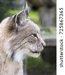 lynx  lynx lynx  close up...   Shutterstock . vector #725867365