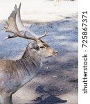 Young Deer Portrait Close Up
