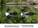 Pair Of Common Loons  Gavia...