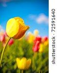 Beautiful Yellow Tulip In...