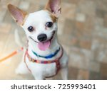 Stock photo a cute white chihuahua happy smiling dog 725993401