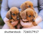 Stock photo dachshund puppy dachshund puppy portrait outdoors many cute dachshund puppy playing outdoor 726017917