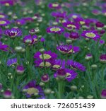 daisies are simple yet... | Shutterstock . vector #726051439