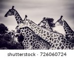 safari  portrait of a beautiful ... | Shutterstock . vector #726060724
