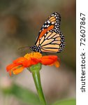 A Monarch Butterfly Nectaring...